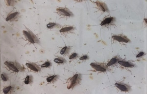 Kakkerlakken ongediertebestrijding Culemborg NL