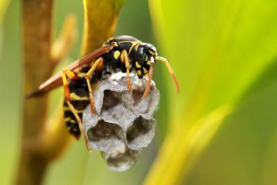 Grote wesp met een klein nest